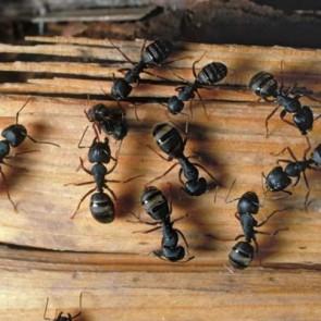 Carpenter Ants Control