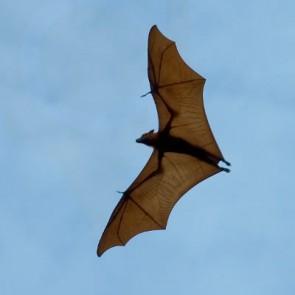 Bat Control Services