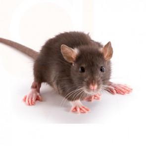 Mice Rat Control